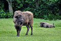 European bison bison bonasus in zoo Royalty Free Stock Image