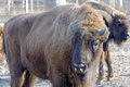 European bison bonasus also known as wisent or the wood is a eurasian species of Stock Images