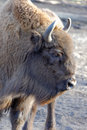 European bison bonasus also known as wisent or the wood is a eurasian species of Royalty Free Stock Image
