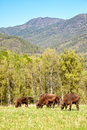 European bison bonasus in altai natural environment Royalty Free Stock Photography