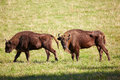 European bison bonasus in altai natural environment Stock Photography