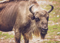 European bison bonasus detail Stock Photos