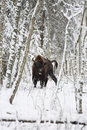 image photo : European bison