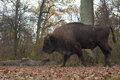European Bison Male Stock Photos
