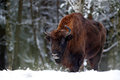 European bison in the winter forest, cold scene with big brown animal in the nature habitat, snow in the tree,