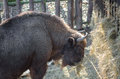 European bison wisent eating hay Stock Photos