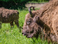 European bison or wisent grazing in green field Royalty Free Stock Photography