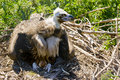 European Black Vulture Royalty Free Stock Photo