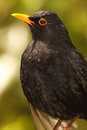 European blackbird bold portrait a of a male in new zealand Royalty Free Stock Photography