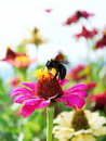 European Carpenter Bee and Zinnia Royalty Free Stock Image