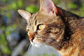 European cat portrait brown looking away Royalty Free Stock Photo