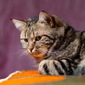 European cat relaxing on sofa Royalty Free Stock Photos