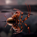 European cave spider meta menardi on a water mirrow Stock Photography