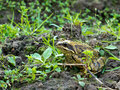 European common frog, Rana temporaria Royalty Free Stock Image
