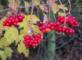 European cranberrybush viburnum opulus with red stone fruits in autumn Royalty Free Stock Image