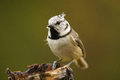 The European Crested Tit Royalty Free Stock Image
