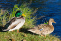 European ducks pair Royalty Free Stock Image