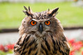 European Eagle Owl Royalty Free Stock Images