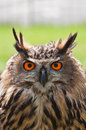 European Eagle Owl Stock Photography