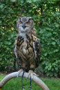 European eagle owl beautiful the bubo bubo Royalty Free Stock Photo