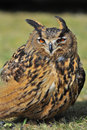 European eagle owl close up of the Stock Photography