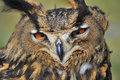 European eagle owl close up of the Stock Images