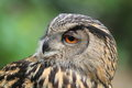 European eagle owl the detail of adult Stock Images