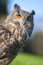 European eagle owl or eurasian bubo bubo with big orange eyes Stock Images