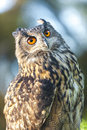 European eagle owl or eurasian bubo bubo with big orange eyes Stock Photo