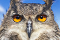 European eagle owl or eurasian bubo bubo with big orange eyes Royalty Free Stock Photography
