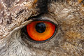 European Eagle Owl Eye Closeup Stock Images