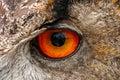 European Eagle Owl Eye Closeup Royalty Free Stock Photo
