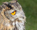 European eagle owl face close up photo of krista an year old owned by many hoots sanctuary of kent Stock Photo