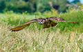 European Eagle Owl in flight Royalty Free Stock Photo