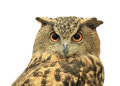 European eagle owl isolated on white background Royalty Free Stock Photos