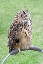 European eagle owl perching photo of a handsome year old called krista on show at the whitstable fun day by many hoots bird rescue Stock Image