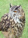 European eagle owl photo of a beautiful year old called krista displaying at whitstable fun day on th june by many hoots Royalty Free Stock Image