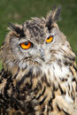 European eagle owl photo of krista a beautiful year old on display at whitstable fun day by many hoots sanctuary on th june Stock Images