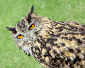 European eagle owl photo of krista the year old on show by many hoots rescue centre at the whitstable fun day on th june Stock Images