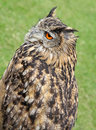 European eagle owl photo of krista an year old showing nice detail and colour to feathers Royalty Free Stock Photography