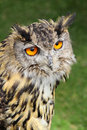 European eagle owl photo of krista the year old showing at whitstable fun day by many hoots sacntuary on th june Stock Photos