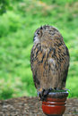 European Eagle Owl on a post Stock Photo