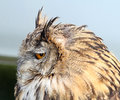 European eagle owl side view photo profile of krista an year old showing at whitstable fun day by sanctuary many hoots on th Stock Photos