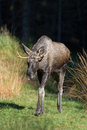 European elk Royalty Free Stock Photo