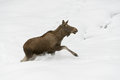 European elk standing walks snow Stock Photography