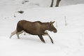 European elk walks snow Royalty Free Stock Image