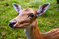 The european fallow deer dama detail of head Royalty Free Stock Image