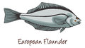 European Flounder, Color Illustration Royalty Free Stock Images