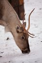 European forest reindeer Stock Images