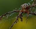 The European garden spider, Araneus diadematus Royalty Free Stock Photo